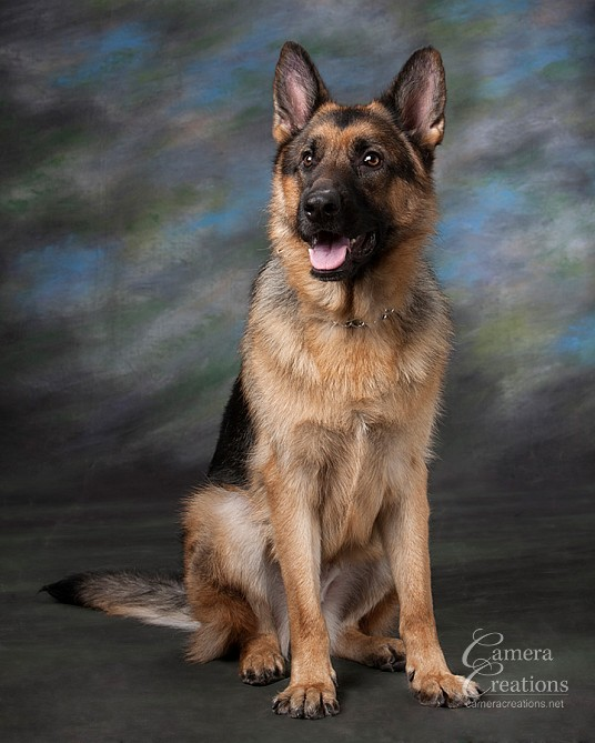Pet photography session in Los Angeles at Camera Creations LLC. German shephard.