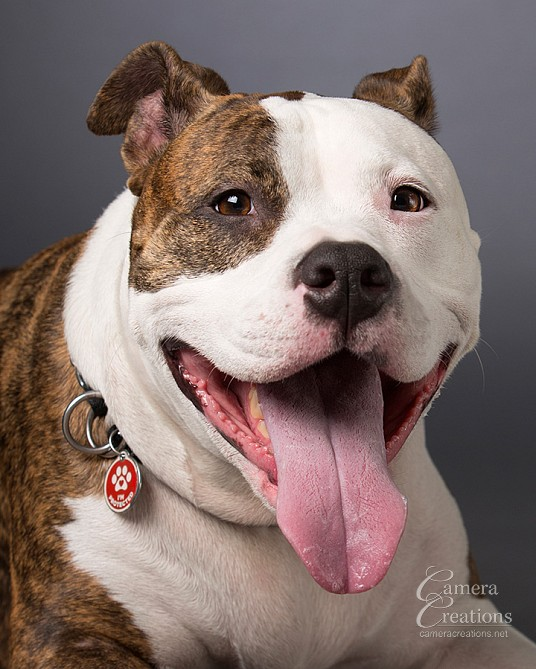 Headshot of a pitbul at Camera Creations portrait studio in Los Angeles. #petphotography #dogphotography
