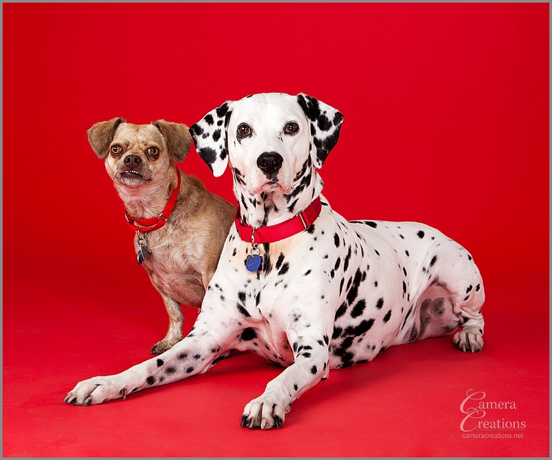 Pet photography session in Los Angeles at Camera Creations LLC. Dalmatian and Chihauhua.