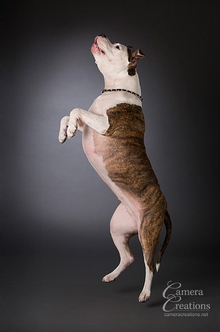Jumping pitbull at her pet portrait session at Camera Creations portrait studio. #dogphotography #petphotography