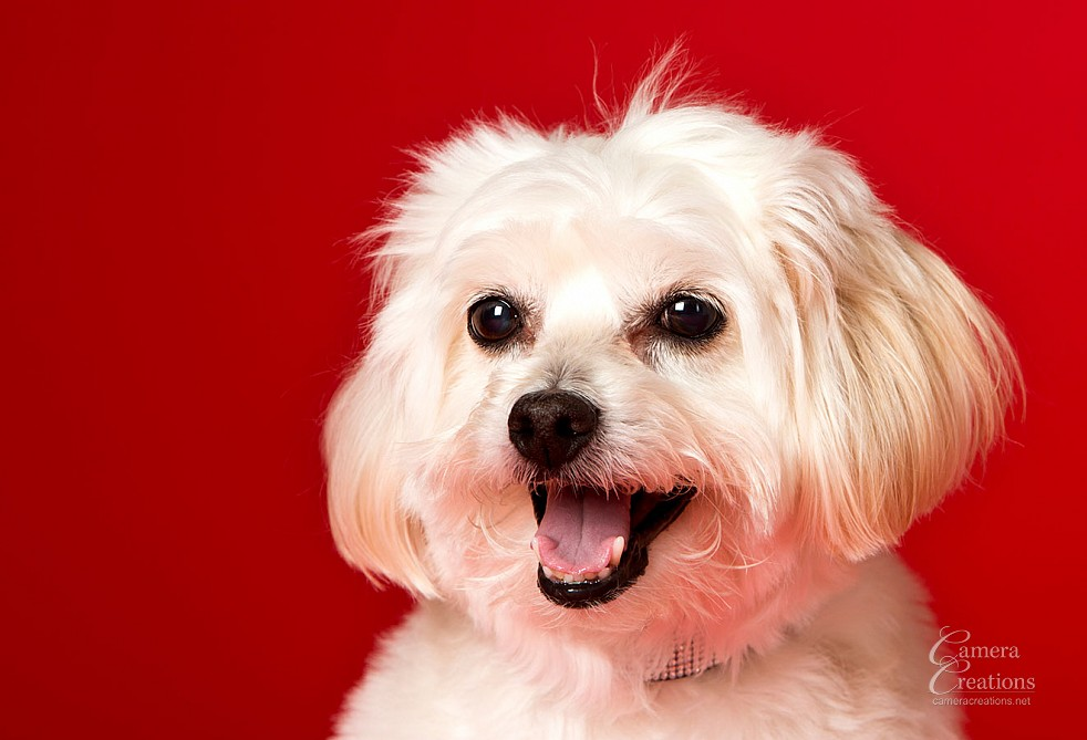 Pet portrait session at Camera Creations portrait studio in Los Angeles. Dog headshot.