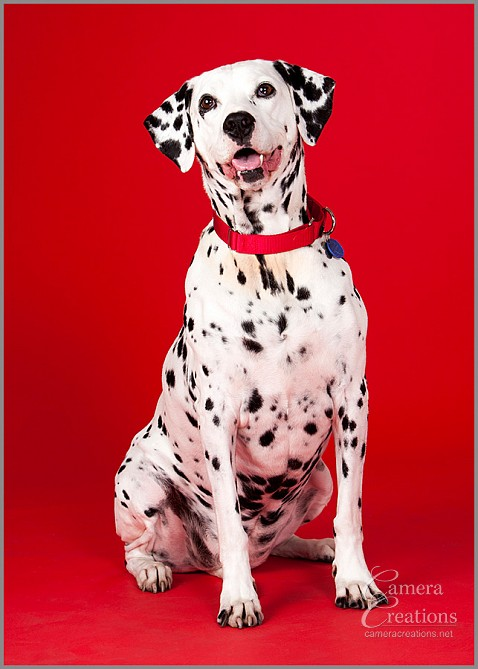 Pet photography session in Los Angeles at Camera Creations LLC. Dalmatian.
