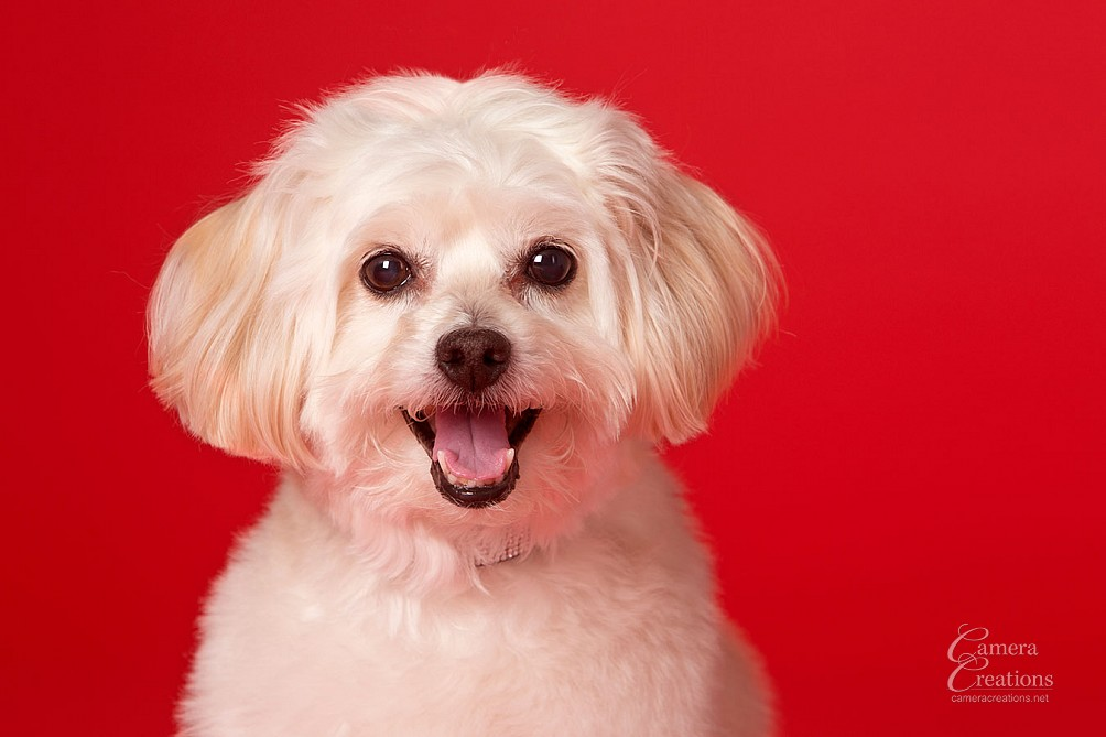 Pet portrait session at Camera Creations portrait studio in Los Angeles. Headshot of a cute dog.